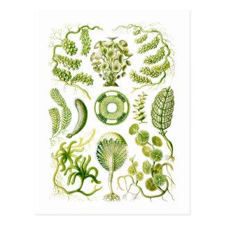 Algas verdes postales