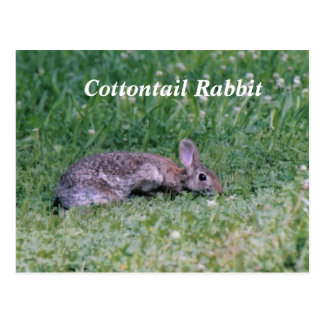 Algodón congelado conejo de conejo de rabo blanco tarjeta postal