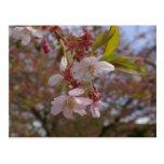 Algunas flores de cerezo postal