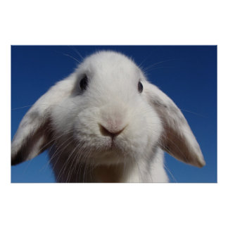 Alicia - conejo blanco del Lop Posters
