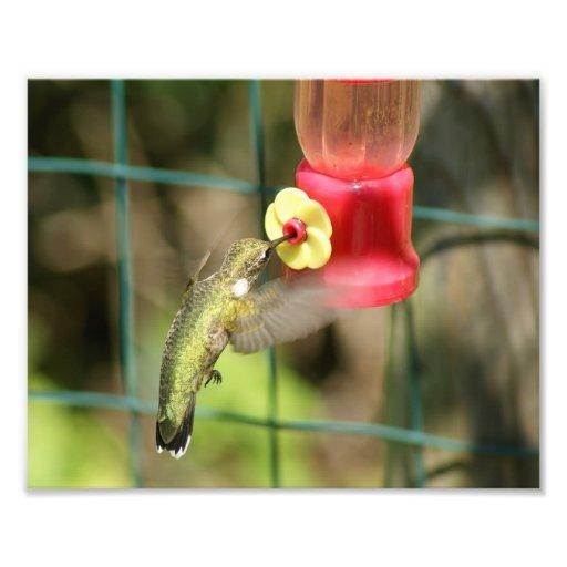 Alimentación 10 x del colibrí impresión cojinete