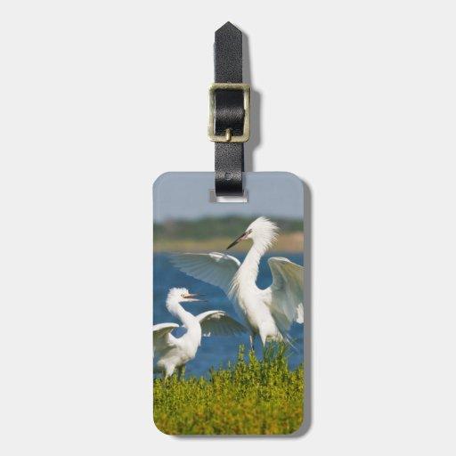 Alimentación adulta rojiza del Egret (Egretta Etiqueta Para Equipaje
