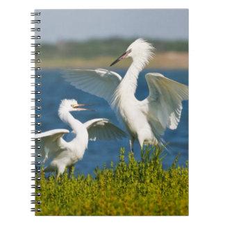 Alimentación adulta rojiza del Egret (Egretta Libreta Espiral