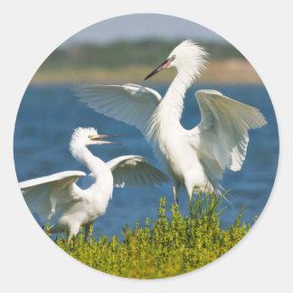 Alimentación adulta rojiza del Egret (Egretta Pegatina Redonda