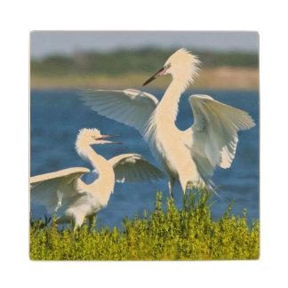 Alimentación adulta rojiza del Egret (Egretta Posavasos De Madera