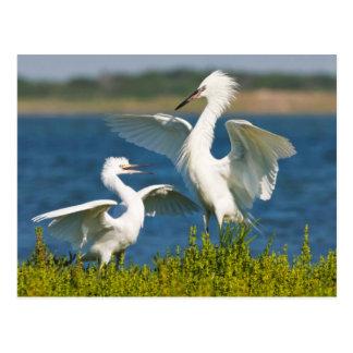 Alimentación adulta rojiza del Egret (Egretta Tarjetas Postales