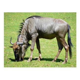 Alimentación azul del wildebeest postales