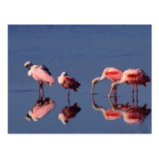 Alimentación de cinco Spoonbills rosados (ajaja de Postal