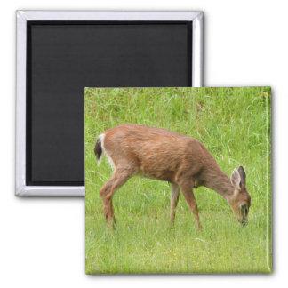 Alimentación de cola negra de los ciervos iman de frigorífico
