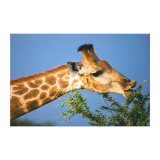 Alimentación de la jirafa (jirafa Camelopardalis) Impresion En Lona