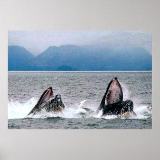 Alimentación de las ballenas jorobadas posters