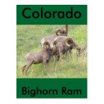 Alimentación de las ovejas del Big Horn Postal