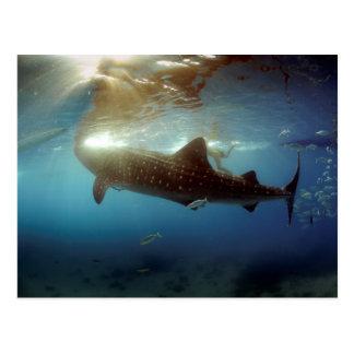 Alimentación del tiburón de ballena tarjetas postales