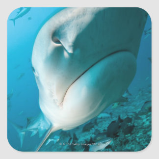 Alimentación del tiburón del tiburón de tigre pegatina cuadrada