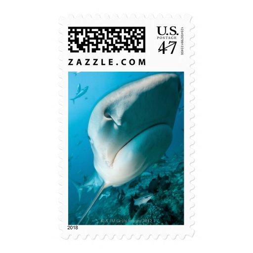 Alimentación del tiburón del tiburón de tigre sello