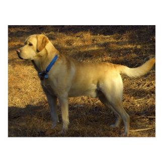 Aliste para cazar Labrador orgulloso en luz del s Postales