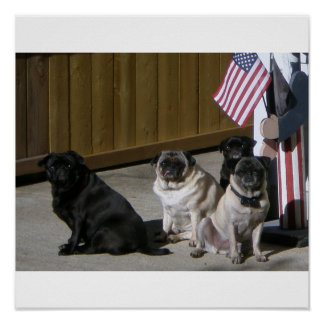 All American Pugs Poster