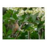 Allen's Hummingbird Postcard