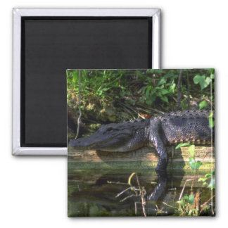 Alligator afternoon, Everglades, Florida 2 Inch Square Magnet