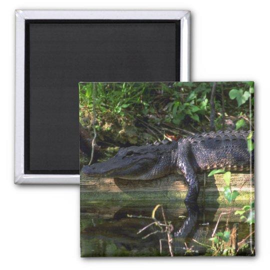 Alligator afternoon, Everglades, Florida Magnet