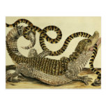 Alligator and Snake, 1730 (coloured engraving) Postcard