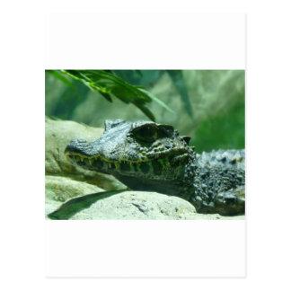 alligator,caiman postcard