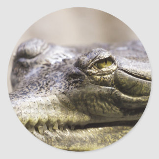 Alligator closeup photo classic round sticker