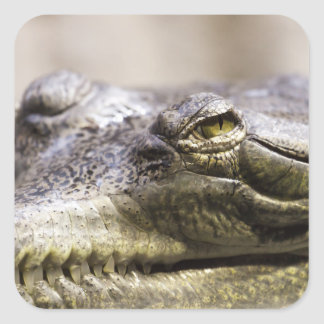 Alligator closeup photo square sticker