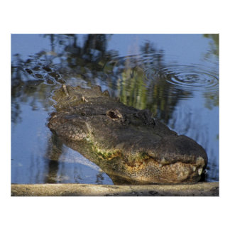 Alligator - Detailed  Close-Up Poster