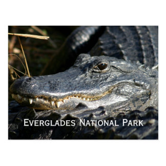 Alligator, Everglades Postcard