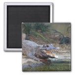 alligator fridge magnet