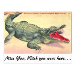 Alligator in Florida Postcard
