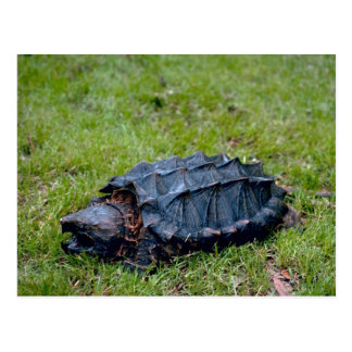 Alligator Snapping Turtle Postcard