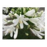 Allium blanco 3 postal