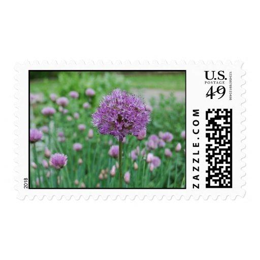Allium & Chives at Graeme Park Stamps