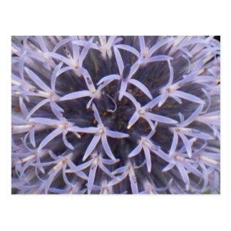 Allium Closeup Postcard