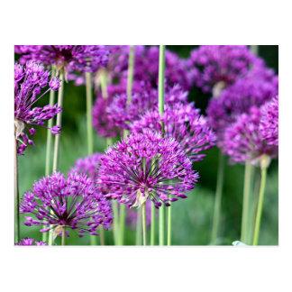 Allium flowers postcard