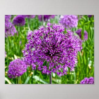 Allium púrpura, poster
