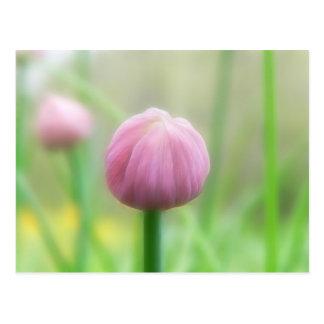 Allium Schoenoprasum - Chive bud Postcard