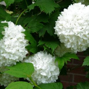 Allium refrigerator magnets zazzle allium white round flowers magnet mightylinksfo