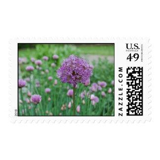 Allium y cebolletas en el parque de Graeme Franqueo