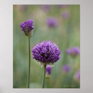 Alliums púrpuras con el fondo difundido natural póster