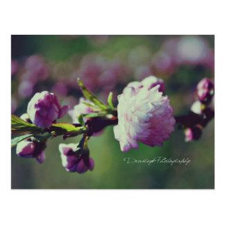 Almendra floreciente postales