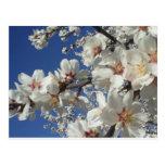 Almond Blossoms Postcard