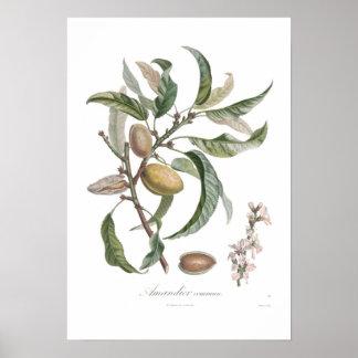 Almond Poster