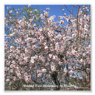 Almond Tree Blossoming in Israel Photo Print