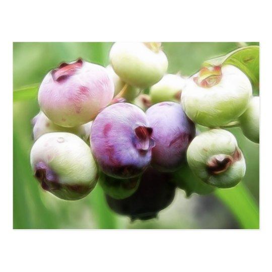 Almost Ripe - Blueberries Postcard