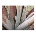 Aloe 1 Close Up Postcard