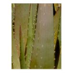 Aloe close-up Postcard