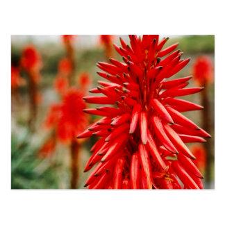 Aloe flowers postcard